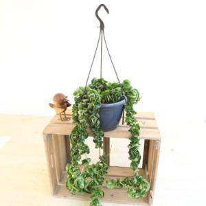 観葉 多肉植物:特大 ホヤカルノーサ コンパクタ*吊り鉢|y-bonsai