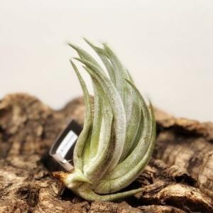 観葉植物:チランジア ミトラエンシス*エアープランツ 銀葉系|y-bonsai