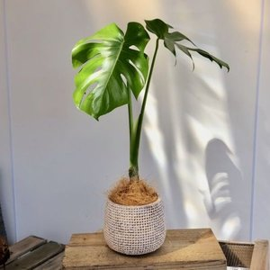 観葉植物:モンステラ ジュート柄鉢カバー付き*ココヤシ飾り|y-bonsai