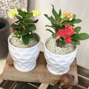 観葉植物 多肉植物:とげあり花キリン 八福神*Mse陶器鉢×1個 受皿付 シロゼオライト y-bonsai