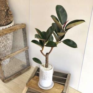 観葉植物:フィカス バーガンディー クロゴムの木*ロゼッタトール 受皿付 シロゼオライト