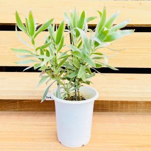 おしゃれ 希少品種 観葉植物 オーストラリアンプランツ:リューカデンドロン  シルバーアフリカーナ*4.5号 y-bonsai
