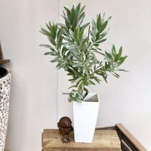 おしゃれ 希少品種 観葉植物 オーストラリアンプランツ:リューカデンドロン  シルバーアフリカーナ*角プラポット y-bonsai