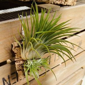 観葉植物 チランジア:イオナンタ ギガンテ コルク仕立て*エアープランツ|y-bonsai