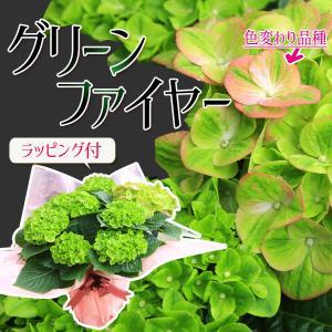 遅れてごめんね 母の日ギフト:秋色あじさい(紫陽花) グリーンファイヤー*ラッピング付 花 鉢植え 鉢花 アジサイ|y-bonsai