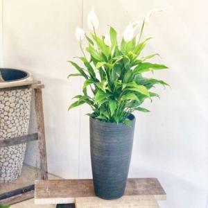 おしゃれ 観葉植物:スパティフィラム コルチナブラック*|y-bonsai