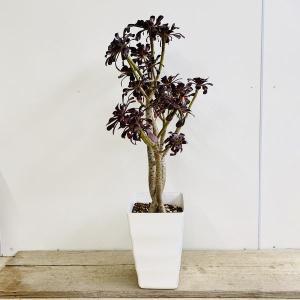 おしゃれ 観葉植物:アエオニウム クロホウシ*黒法師 プラポット y-bonsai