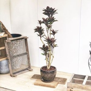 おしゃれ 観葉植物:ドラセナ パープルコンパクタ*陶器鉢 受皿付 バークチップ 大型佐川便 SALE|y-bonsai