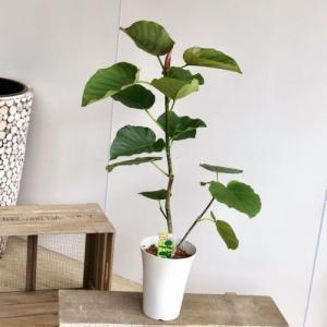 観葉植物:フィカス ウンベラータ*6号 プラポット y-bonsai