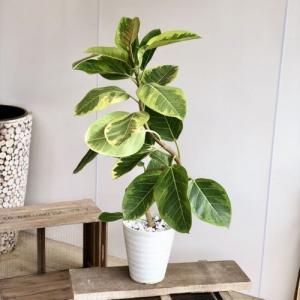 観葉植物:フィカス アルテシーマ(アルティシーマ)*セラアート y-bonsai