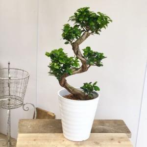 おしゃれ 観葉植物:ガジュマル 昇り竜 多幸の木 *セラアート バークチップ SALE|y-bonsai