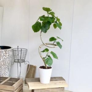 観葉植物:フィカス ウンベラータ (曲)*セラアート バークチップ 大型ヤマト便|y-bonsai