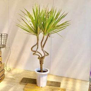 観葉植物:ドラセナ コンシンネ トリカラー龍*プラポット 大型ヤマト商品発送 SALE|y-bonsai