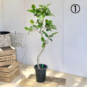 観葉植物:フィカスベンガレンシス*ベンガルゴム 大型佐川急便 現品 SALE|y-bonsai
