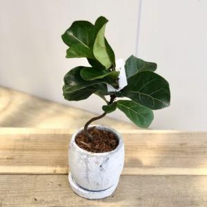 観葉植物:カシワバゴムの木 バンビーノ*ロゼッタボール 受皿付 バークチップ