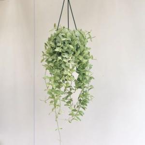 観葉植物:斑入りディスキディア エメラルド*5号 吊り鉢|y-bonsai