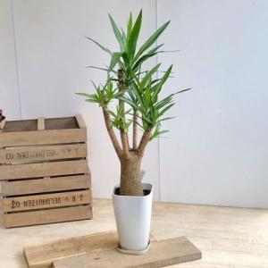 おしゃれ 観葉植物:斑入りユッカ エルミラ*プラポット y-bonsai