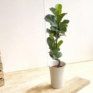 おしゃれ 観葉植物:カシワバゴムの木  バンビーノ 曲り*プラポット バークチップ y-bonsai