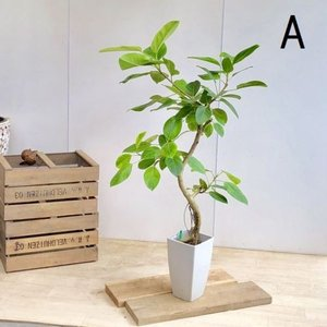 おしゃれ 観葉植物:フィカス アルテシーマ 曲り*プラポット 現品 大型佐川急便配送 SALE|y-bonsai