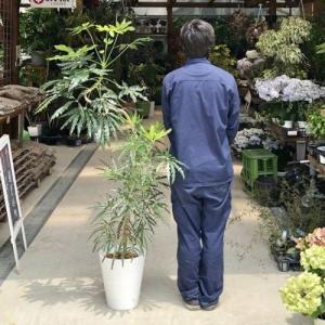 おしゃれ 観葉植物:ジャンボ アラレア*セラアート 現品 大型佐川急便配送 SALE|y-bonsai