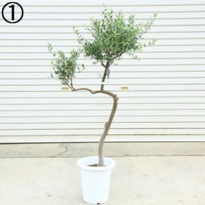 観葉植物 SOUJU(創樹):オリーブの木*ネバディロブランコ 9号 現品 大型佐川配送|y-bonsai