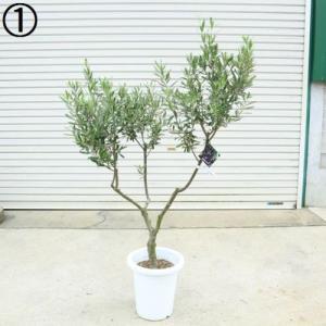 観葉植物 SOUJU(創樹):オリーブの木*シプレッシーノ 9号 現品 大型佐川配送|y-bonsai