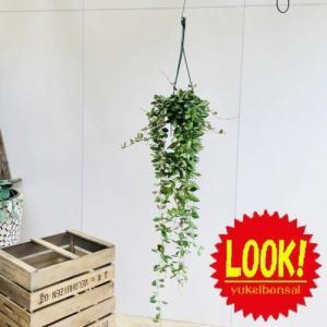 観葉植物:ホヤ*品種不明 吊り鉢|y-bonsai