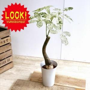 おしゃれ 観葉植物:斑入りパキラ ミルキーウェイ*プラポット y-bonsai