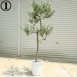 観葉植物 SOUJU(創樹):オリーブの木*ルッカ 9号 現品 大型佐川配送|y-bonsai