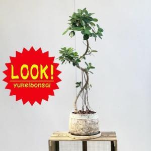 おしゃれ 観葉植物:フィカス バンダガジュマル*鉢植え バークチップ 受皿付 SALE|y-bonsai