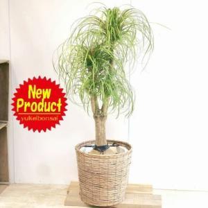 観葉植物:ポニーテール トックリラン ノリナ*バスケット付き 大型佐川便配送 現品 SALE|y-bonsai