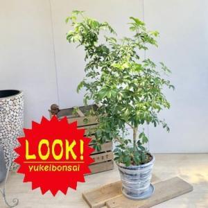 訳あり 観葉植物:シェフレラ ホンコン*ファイバー鉢植え 受皿付 バークチップ 大型佐川急便 現品限り|y-bonsai