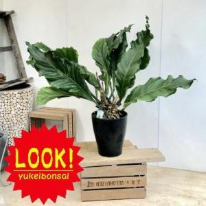 訳あり 観葉植物:アンスリウム フーケリー*プラポット 現品限り 大型ヤマト便|y-bonsai