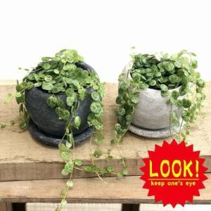 観葉植物:ペペロミア タートル コインペペ*ロゼッタボウル 受皿付