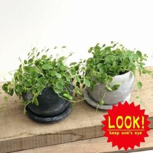 観葉植物:ペペロミア ジェミニ*ロゼッタボウル 受皿付