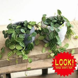 観葉植物:ペペロミア ビートル*ロゼッタボウル 受皿付