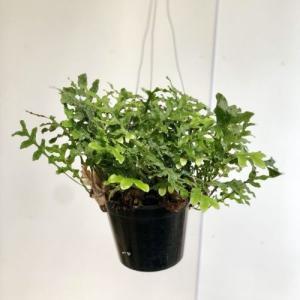 観葉植物:ドリナリア クエルシフォリア*吊り鉢 |y-bonsai