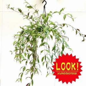 観葉植物:エスキナンサス ロンギカウリス*吊り鉢|y-bonsai