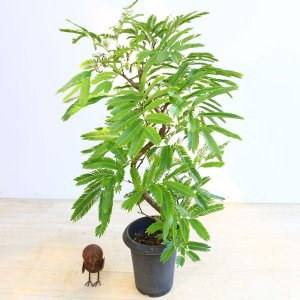 おしゃれ 観葉植物:エバーフレッシュ 曲*プラポット ネムの木 y-bonsai