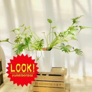 訳あり 観葉植物:クッカバラ*陶器鉢 現品|y-bonsai
