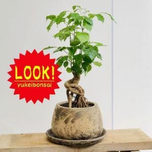 観葉植物:ヘテロパナックス*鉢植え 受皿付 バークチップ y-bonsai