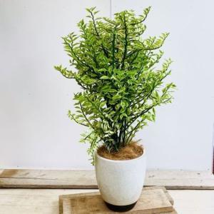 観葉植物 多肉植物:ダイギンリュウ*ペディランサス 陶器鉢 受皿付 ココヤシ 大型ヤマト便|y-bonsai