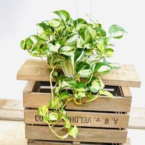 おしゃれ 観葉植物:ポトス ステータス*吊り鉢|y-bonsai