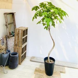 おしゃれ 観葉植物 希少品種:ブラキキトン ボトルツリー*大型佐川急便 現品|y-bonsai