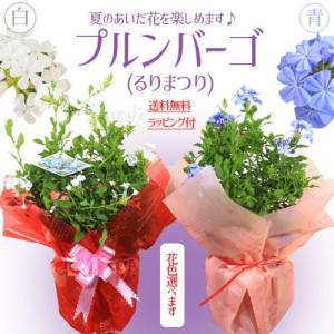 遅れてごめんね 母の日 プレゼント:ルリマツリ プルンバーゴ*(瑠璃茉莉)5号 ラッピング付き|y-bonsai