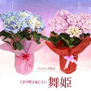 遅れてごめんね 母の日ギフト:アジサイ(紫陽花) 舞姫 まいひめ*ラッピング付プレゼント鉢植え 鉢花 あじさい|y-bonsai