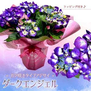 遅れてごめんね 母の日ギフト:アジサイ(紫陽花) ダークエンジェル*ラッピング付プレゼント鉢植え 鉢花 あじさい|y-bonsai