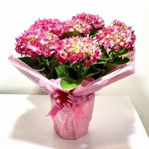 遅れてごめんね 母の日ギフト:アジサイ(紫陽花) パリジェンヌ*ラッピング付プレゼント鉢植え 鉢花 あじさい|y-bonsai
