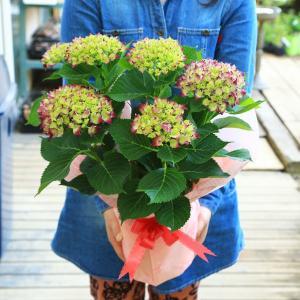 遅れてごめんね 母の日ギフト:アジサイ(紫陽花) カルメン パープル*ラッピング付プレゼント鉢植え 鉢花 あじさい|y-bonsai