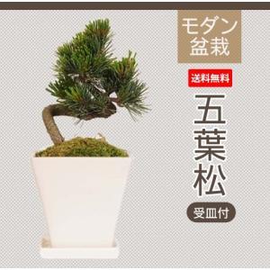 モダン盆栽:五葉松*白モダンスクエアー鉢受皿付 鉢植え祝い ギフト gift 誕生日祝 御祝 プレゼントにも|y-bonsai